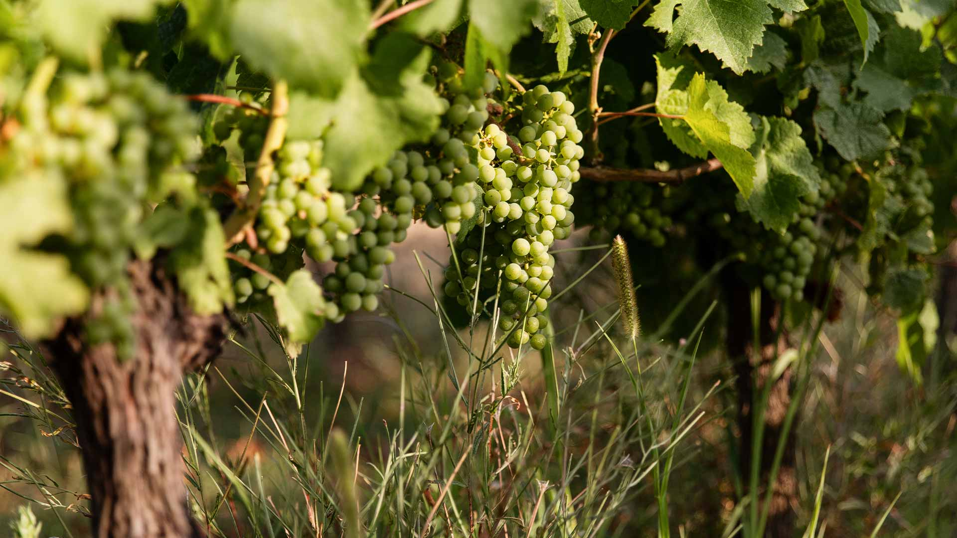 Grapes on wine plant